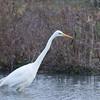 Great White Egret, Ardea alba 4592