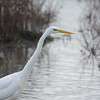 Great White Egret, Ardea alba 4650