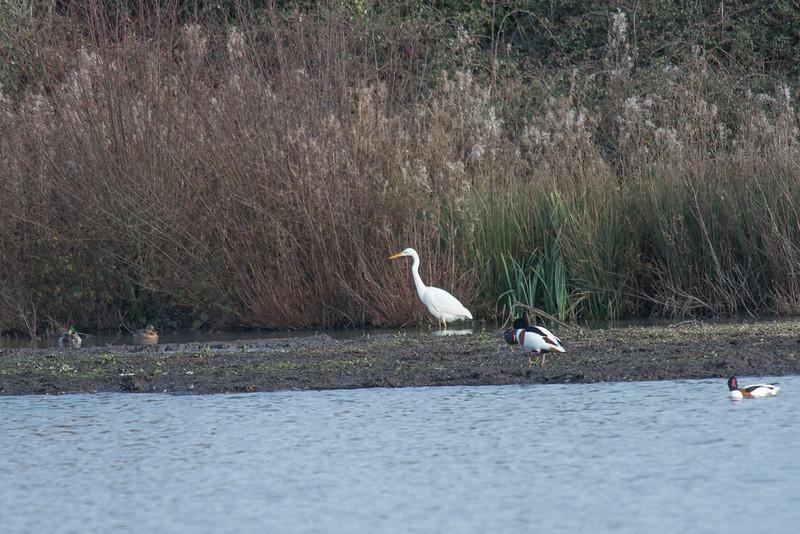 Great White Egret, Ardea alba 4878