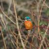 Kingfisher, Alcedo atthis 4042