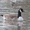 Canada Goose, Branta canadensis 4666