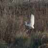 Great White Egret, Ardea alba 4340