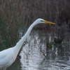 Great White Egret, Ardea alba 4636
