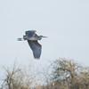 Grey Heron, Ardea cinerea 4358