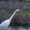 Great White Egret, Ardea alba 4601