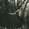 Great White Egret, Ardea alba 4193