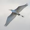 Great White Egret, Ardea alba 4202