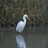 Great White Egret, Ardea alba 4558