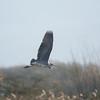 Grey Heron, Ardea cinerea 4360