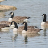 Canada Goose, Branta canadensis 4390
