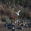 Great White Egret, Ardea alba 4221