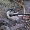 Long-tailed Tit, Aegithalos caudatus 4944