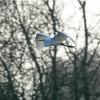 Great White Egret, Ardea alba 4196