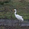 Great White Egret, Ardea alba 4417
