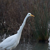 Great White Egret, Ardea alba 4634