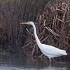 Great White Egret, Ardea alba 4447
