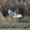 Great White Egret, Ardea alba 4228
