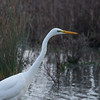 Great White Egret, Ardea alba 4639