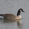 Canada Goose, Branta canadensis 4875