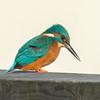 Kingfisher, Alcedo atthis 3959