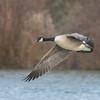 Canada Goose, Branta canadensis 4396