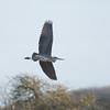 Grey Heron, Ardea cinerea 4359