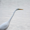 Great White Egret, Ardea alba 4656