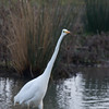 Great White Egret, Ardea alba 4626