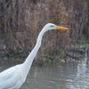Great White Egret, Ardea alba 4647