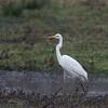 Great White Egret, Ardea alba 4418