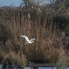 Great White Egret, Ardea alba 4345
