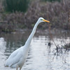 Great White Egret, Ardea alba 4629