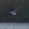 Grey Heron, Ardea cinerea 4364