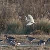 Great White Egret, Ardea alba 4339