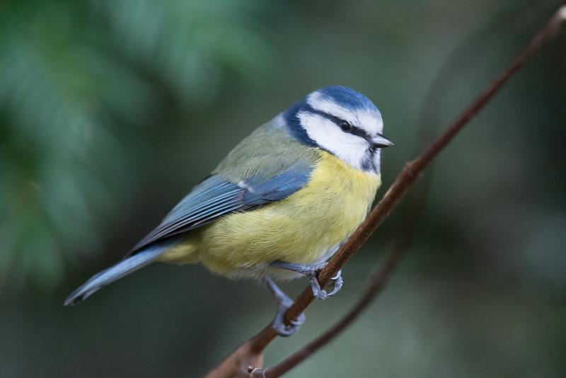 Blue Tit, Cyanistes caeruleus 4769