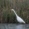 Great White Egret, Ardea alba 4486