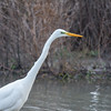 Great White Egret, Ardea alba 4644