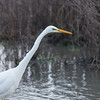 Great White Egret, Ardea alba 4640
