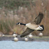 Canada Goose, Branta canadensis 4398