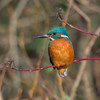 Kingfisher, Alcedo atthis 4045