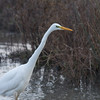 Great White Egret, Ardea alba 4632