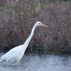 Great White Egret, Ardea alba 4590