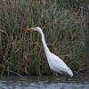 Great White Egret, Ardea alba 4476