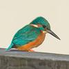 Kingfisher, Alcedo atthis 4004