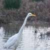 Great White Egret, Ardea alba 4630