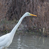 Great White Egret, Ardea alba 4645