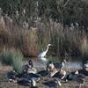 Great White Egret, Ardea alba 4214