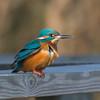 Kingfisher, Alcedo atthis 4158