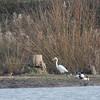 Great White Egret, Ardea alba 4872