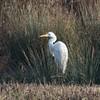 Great White Egret, Ardea alba 4286
